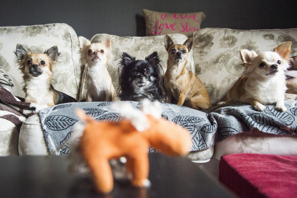 Chihuahuat sohvalla